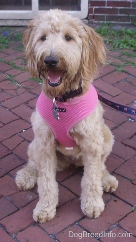 A Goldendoodle is sitting on a brick patio in front of a brick house wearing a pink harness.