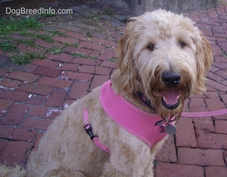 A smiling tan Goldendoodle is wearing a hot pink harness sitting on a brick sidewalk looking to the left.