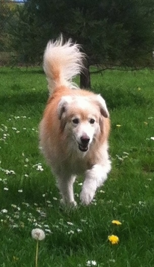 A tan and cream Gollie is trotting across a lawn with dandelions and daisys growing in it.