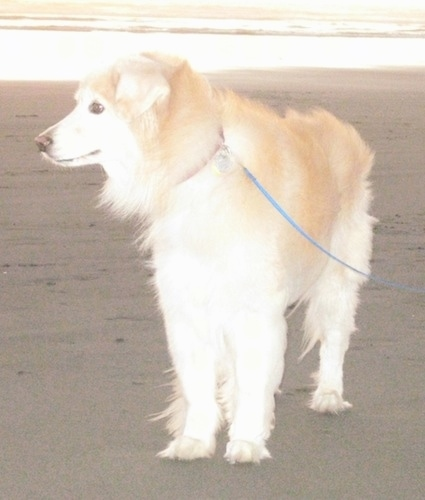 A tan and cream Gollie is standing in sand and it is looking to the left with water behind it.
