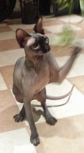 Fergie the hairless Sphynx cat is pawing at a plant on a tiled floor