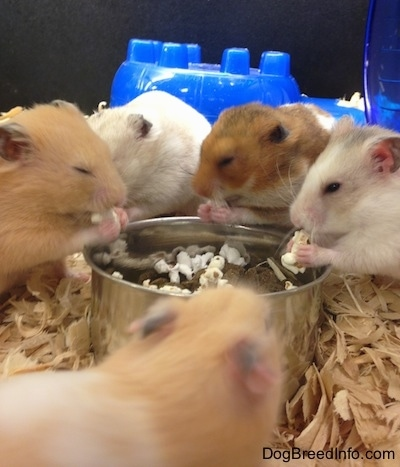 Five hamsters are standing around a food bowl and they are eating popcorn out of the bowl. They are holding it with their front paws and their eyes look relaxed.