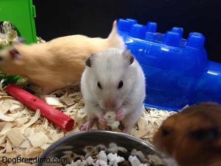 A white with grey hamster is eating a piece of popcorn and next to it is a brown hamster eating a piece of popcorn. There is a tan hamster that is walking across the enclosure.