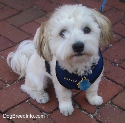 A white with tan Havanese is sitting on a brick walkway wearing a blue harness.