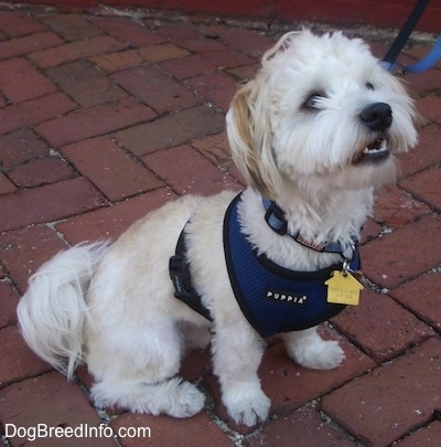 A white with tan Havanese is sitting on a brick walkway wearing a blue harness looking up with its mouth open