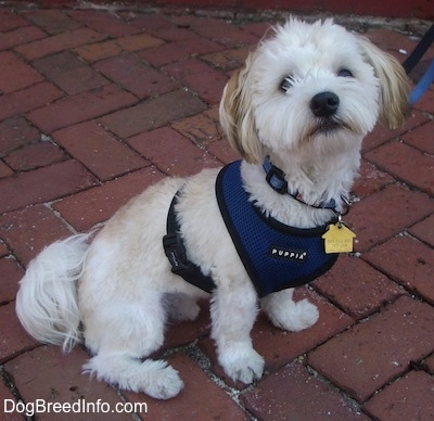 A white with tan Havanese is sitting on a brick walkway wearing a blue harness looking up.