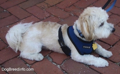 A white with tan Havanese is laying on a brick walkway wearing a blue harness looking forward