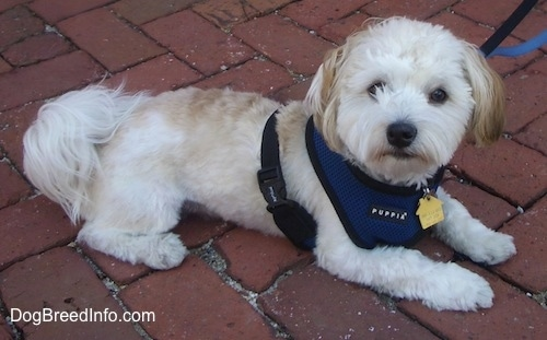 A white with tan Havanese is laying on a brick walkway.