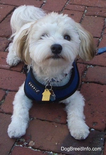 A white with tan Havanese is laying on a brick walkway wearing a blue harness looking up. Some hair is obscuring its left eye.