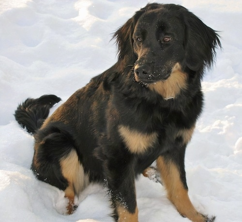 A black with tan Hovawart is sitting in snow. It has snow all over its snout