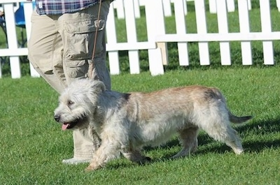 A Glen of Imaal Terrier is being walked by a person across grass with a white fence behind it.
