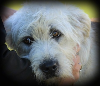 Close Up - The face of a Gleen of Imaal Terrier with hands petting its neck