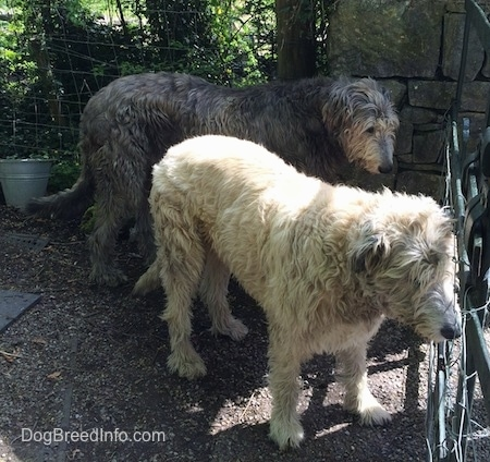 A black and a tan Irish Wolfhound are standing outside in front of a metal gate.