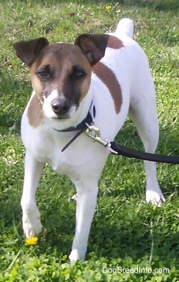 A white with brown Jack Russell Terrier is standing in grass with one front paw up in the air and a yellow dandelion below its raised paw.
