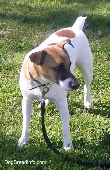 A white with brown Jack Russell Terrier is standing in grass and looking to the right