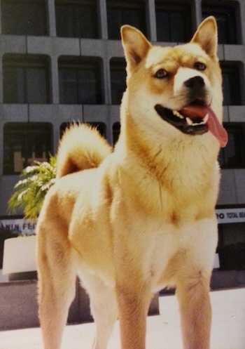 A tan with white Jindo is standing in front of a large high-rise building. Its mouth is open and tongue is out