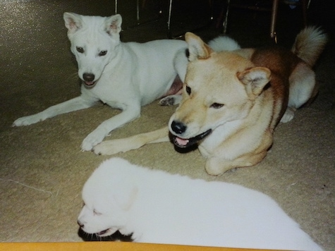 A tan Jindo is laying next to a white Jindo. They are both looking down at a white Jindo puppy