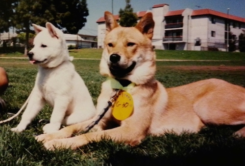 A tan Jindo is laying in grass and there is a white Jindo puppy sitting next to it. There is a white building with a red roof behind them.
