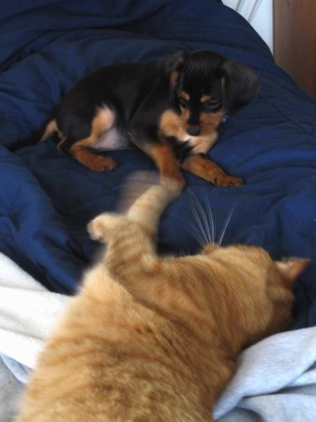 A black and tan King Pin puppy is laying on a blue blanket. There is an orange cat laying on its side batting at the pup.