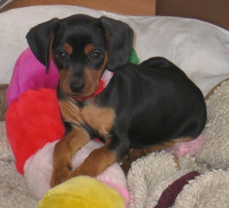 A black and tan King Pin is laying on a bed on top of a colorful plush toy