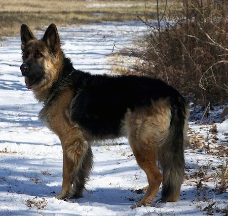 A King Shepherd is standing on snow and looking to the left in a field with brown brush next to it.
