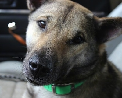 Close Up head shot - A brown with black Kishu ken is wearing a green collar sitting in the passenger side of a vehicle.