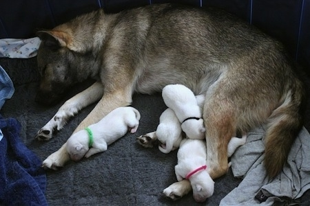 A brown with black Kishu Ken and her litter of white puppies are sleeping on a large sized dog bed.