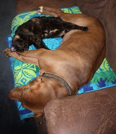 A brown Lab Pei dog is laying on a blue, purple, green and yellow towel on top of a brown couch. There is a black with orange cat laying in front of it