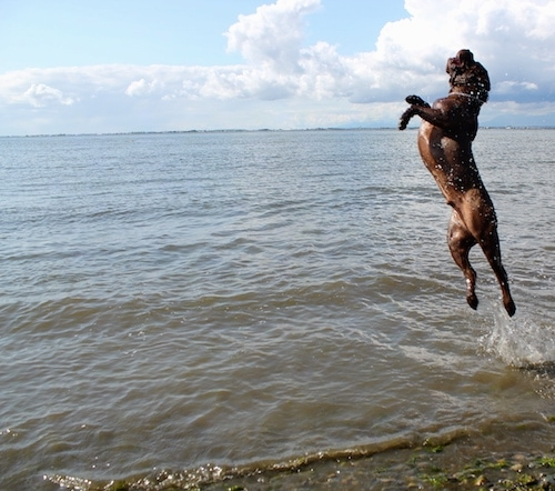 Action shot - A brown Lab Pei dog is jumping a couple of feet in the air in a large body of open water with clouds and a blue sky in the background