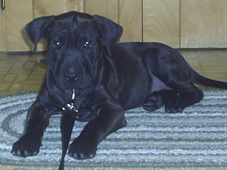 A small black Lab Pei puppy is laying on a throw rug with a tan tiled floor and a wooden wall behind it and it is looking forward