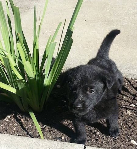 A small, black Labrador Retriever mix puppy is standing in dirt next to a plant. It is looking forward.
