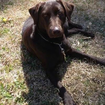 A chocolate Labrador Retriever is wearing a medal choke chain collar laying in brown grass and looking up