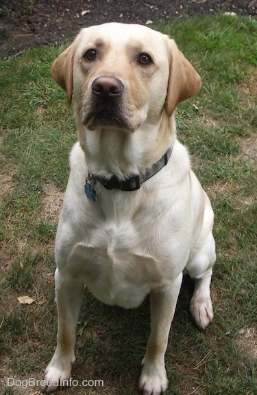 Front view - A yellow Labrador Retriever is sitting in grass and looking up.