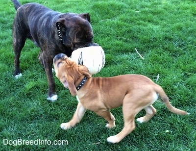 A reverse brown brindle with white Leavitt Bulldog has a soccer ball in its mouth and it is standing in grass. There is a tan with white and black Leavitt Bulldog puppy trying to bite the ball