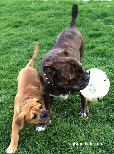Two dogs out in grass - A reverse brown brindle with white Leavitt Bulldog has a soccer ball in its mouth and is turning its head to the right. There is a smaller tan with white and black Leavitt Bulldog puppy trying to get the soccer ball out of its mouth.
