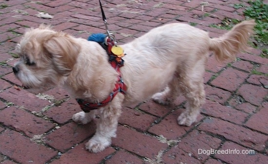 Left Profile - A tan with white Lhasa Apso dog wearing a red harness is standing on a brick sidewalk.
