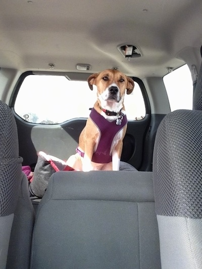 Front view - A large breed, tan with white mix breed dog is sitting in the trunk of a SUV. It is wearing a burgundy harness.
