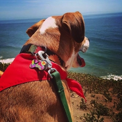 Close up - The backside of a large mix breed dog laying on a cliff looking over the edge at a body of water. It is wearing a red bandana, its mouth is open and tongue is out.