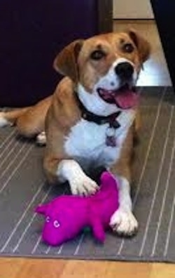 View from the front - A large breed, rose eared, tan with white mix breed dog is wearing a black collar laying on a gray throw rug and it has its paw on top of a Barney the Dinosaur toy. Its mouth is open and tongue is out, its head is slightly tilted to the left.