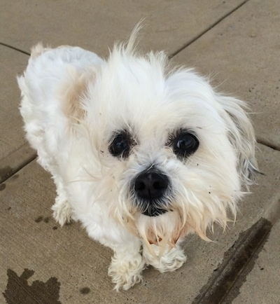 A shaggy looking white Maltese is standing on a concrete surface and looking up. The wind is blowing the fur on its face.
