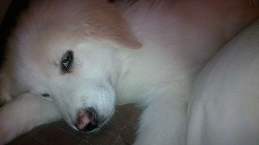 Close up - A sleepy looking white Maremma Sheepdog puppy is laying down on a bed.