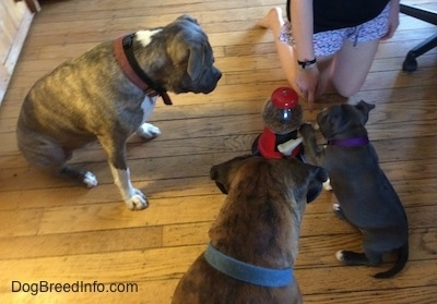 There is a gumball machine with a lever that dispenses treats in between two dogs, a puppy and a person on there knees. The blue nose American Bully Pit puppy has her left paw on a lever.