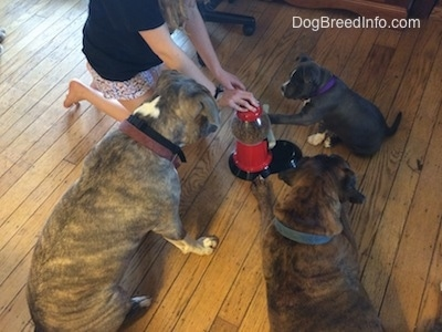 A person on the knees has a hand on a food dispenser with a lever. The blue nose American Bully Pit puppy has her left paw on a lever. There is a blue nose Pit Bull Terrier sitting and watching, next to him is a brown with black and white Boxer laying down and watching.