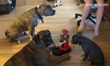 A brown with black and white Boxer is laying on a hardwood floor with a food dispenser in front of him. A blue nose American Bully Pit puppy is looking at the machine. The blue nose Pit Bull Terrier is standing on a hardwood floor looking up at a person sitting in a computer chair.
