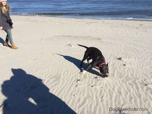 A blue nose American Bully Pit is digging in sand on a beach. There is a blonde haired girl behind the dog.