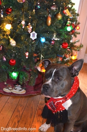 A blue nose American Bully Pit is wearing a scarf around its neck and behind her is a decorated Christmas tree.