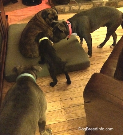 A brown with black and white Boxer is laying on a green pillow. There is a black Labrador/German Shepherd mix puppy inspecting the Boxer. There is a blue nose American Bully Pit and an American Pit Bull Terrier are inspecting the puppy.