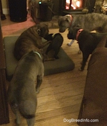 A brown with black and white Boxer, a blue nose Pitbull Terrier, a blue nose American Bully Pit and an American Pit Bull Terrier are beginning to surround the black Labrador/German Shepherd mix puppy.