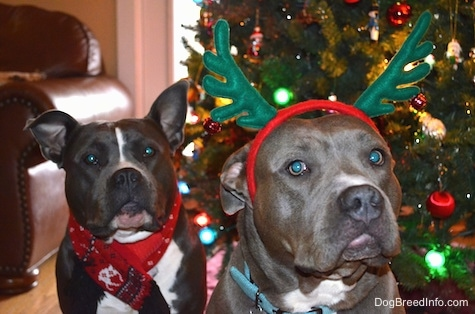 A blue nose American Bully Pit and an American Pit Bull Terrier are standing in front of a christmas tree. The Bully Pit is wearing a scarf and A Pit Bull Terrier is wearing reindeer antlers.