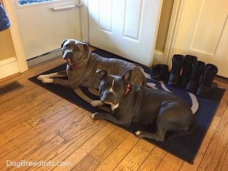 A blue nose Pitbull Terrier and a blue nose American Bully Pit are laying on a Penn State University floor mat. There is an open door in front of them.